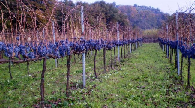 Olevano - Azienda Agricola Migrante - Cesanese di Olevano Romano